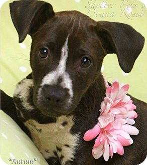 Bluetick Coonhound/Labrador Retriever Mix Puppy for adoption in Effort, Pennsylvania - Autumn