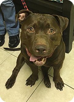 Pit Bull Terrier Mix Dog for adoption in Loxahatchee, Florida - Hoffman - Pawsitive Direction