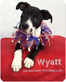 American Pit Bull Terrier/Labrador Retriever Mix Puppy for adoption in Toledo, Ohio - Wyatt