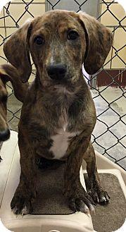Basset Hound/Dachshund Mix Puppy for adoption in Battle Creek, Michigan - Jasper