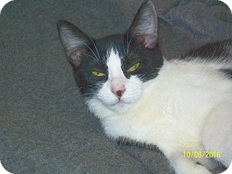 Domestic Shorthair Cat for adoption in Mexia, Texas - Marble