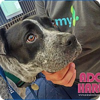 Australian Cattle Dog/Pit Bull Terrier Mix Dog for adoption in Marina del Rey, California - Harley