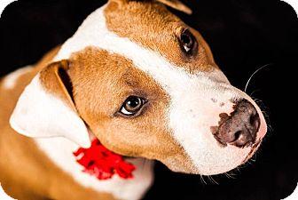 American Pit Bull Terrier Puppy for adoption in Greensboro, North Carolina - Sasha Bryn