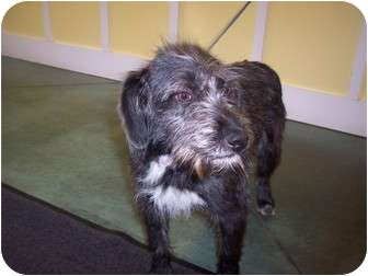 Schnauzer (Standard)/Terrier (Unknown Type, Small) Mix Dog for adoption in Hillsville, Virginia - Maggie
