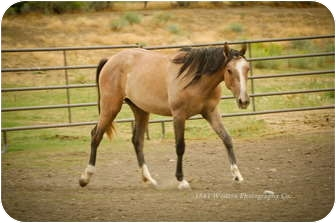Appendix/Quarterhorse Mix for adoption in Bayfield, Colorado - Eve