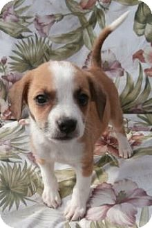 PUPPIES~ | Adopted Puppy | McArthur, OH | Australian Shepherd/Beagle ...