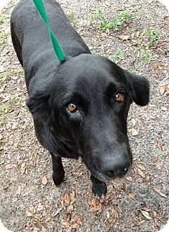 Border Collie/Labrador Retriever Mix Dog for adoption in Gainesville, Florida - Happy