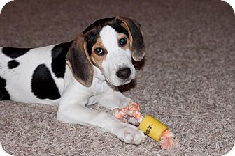 Treeing Walker Coonhound/English (Redtick) Coonhound Mix Puppy for adoption in Garden City, Michigan - Forget-me-not