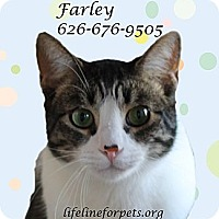 Domestic Shorthair Cat for adoption in Monrovia, California - FARLEY Mowcat