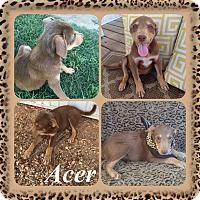 Adopt A Pet :: Acer-pending adoption - Manchester, CT