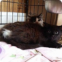 Adopt A Pet :: Darth Vader - Putnam, CT
