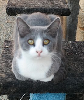 Domestic Shorthair Cat for adoption in San Pablo, California - GREY TUX