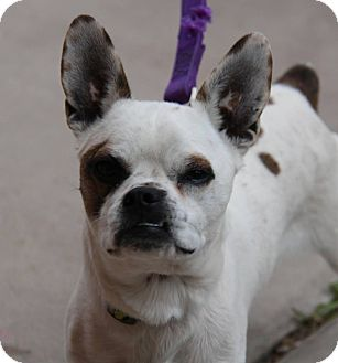 french bulldog phoenix ken adopted dog phoenix az boston terrier french 6688