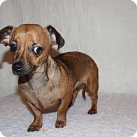 Adopt A Pet :: Nina - Yukon, OK
