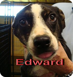 Border Collie Mix Dog for adoption in Coleman, Texas - Edward