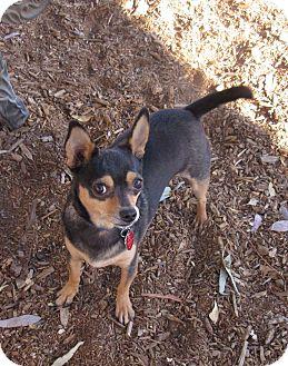 Chihuahua Mix Dog for adoption in Phoenix, Arizona - BLAZE