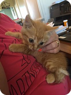 Domestic Shorthair Kitten for adoption in Troy, Illinois - Bree Fostered (Jessica K)