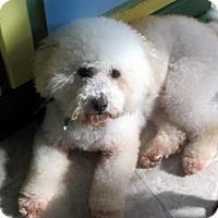 Bichon Frise/Poodle (Miniature) Mix Dog for adoption in Suffolk, Virginia - Ryder
