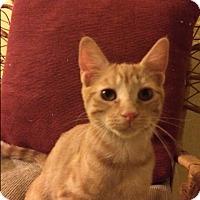 Adopt A Pet :: Pumpkin - Gettysburg, PA