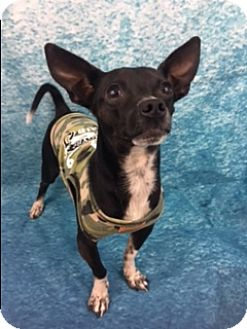 Chihuahua Mix Dog for adoption in Lake Elsinore, California - Sammy