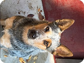 Australian Cattle Dog Dog for adoption in Remus, Michigan - Rosie is Pending!