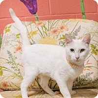 Domestic Shorthair Cat for adoption in Pensacola, Florida - Momma Mike