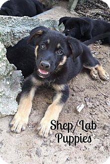 Shepherd (Unknown Type)/Labrador Retriever Mix Dog for adoption in Cantonment, Florida - Shep / Lab Puppies