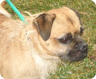 Pug/Terrier (Unknown Type, Medium) Mix Dog for adoption in Westampton, New Jersey - Buddy D-51819