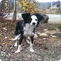 Adopt A Pet :: GEMMA - Frisco, CO