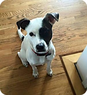 Rat Terrier/Jack Russell Terrier Mix Dog for adoption in St Louis, Missouri - Cici