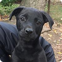 Adopt A Pet :: Dill - Harrison, NY