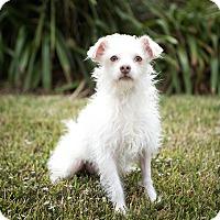 Adopt A Pet :: Zef - Calgary, AB