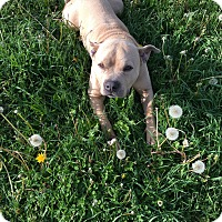 Adopt A Pet :: brutus - Greenville, OH