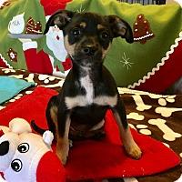 Adopt A Pet :: Rocco - Santa Ana, CA