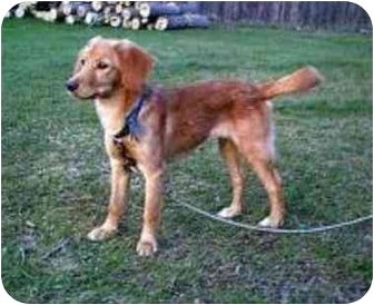 golden retriever mix puppies for sale in michigan lilly adopted puppy oxford mi dachshund golden 3627