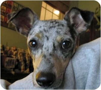 Nate | Adopted Dog | 403 | Houston, TX | Rat Terrier ...