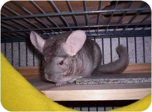 Chinchilla for adoption in Avondale, Louisiana - Chichi