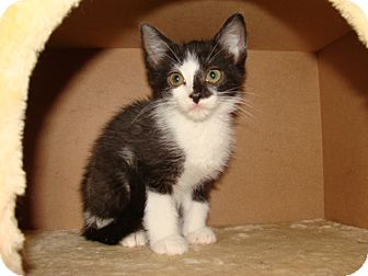 Domestic Shorthair Kitten for adoption in Spotsylvania, Virginia - Harley