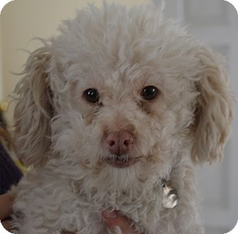 Poodle (Miniature) Mix Dog for adoption in Simi Valley, California - Griffin