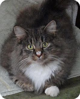 Maine Coon Cat for adoption in Sanford, Maine - Cleo