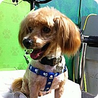 Adopt A Pet :: Puma - Goleta, CA