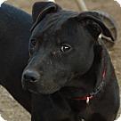 Adopt A Pet :: Denzel NO ADOPT FEE - Sherman, CT