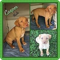 Adopt A Pet :: Casper 1 meet me 5/13 - Manchester, CT