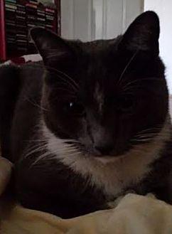 Domestic Shorthair Cat for adoption in El Paso, Texas - Ghetto