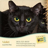 British Shorthair Cat for adoption in Santa Paula, California - Violet