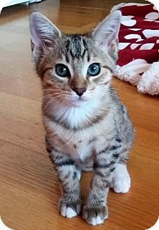 Domestic Shorthair Kitten for adoption in Seal Beach, California - Kitten Belle