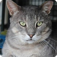 Domestic Shorthair Cat for adoption in Hamilton, Ontario - Gunther