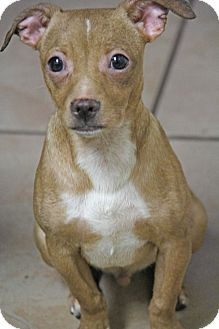 Dachshund/Chihuahua Mix Puppy for adoption in Yuba City, California - Peanut