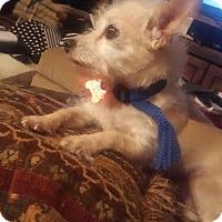 Adopt A Pet :: Lambchop - Brunswick, ME