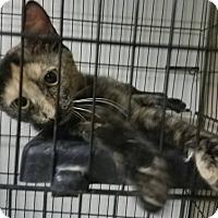 Adopt A Pet :: Ferrari - Phoenix, AZ